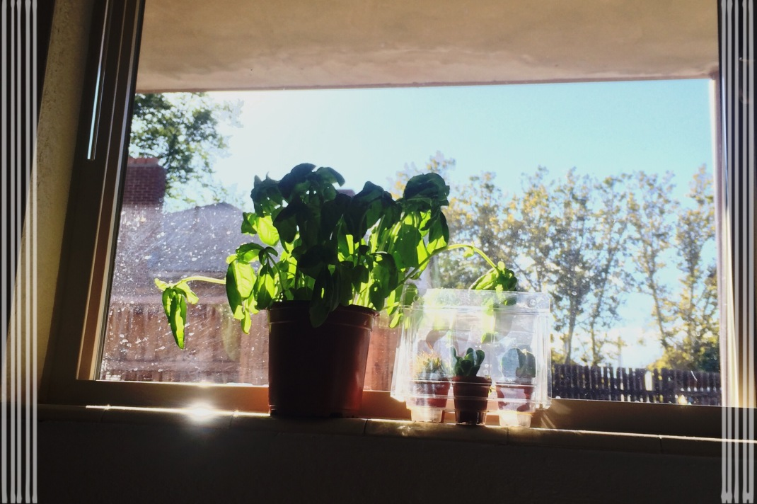 this is henry, our basil plant. he's the bomb. also some cactus plants that belong to caroline's sister...i think?